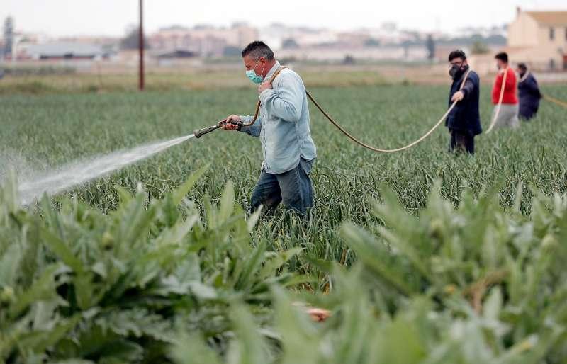 Varios agricultores trabajan en un campo de la huerta valenciana. EFE/Kai Försterling