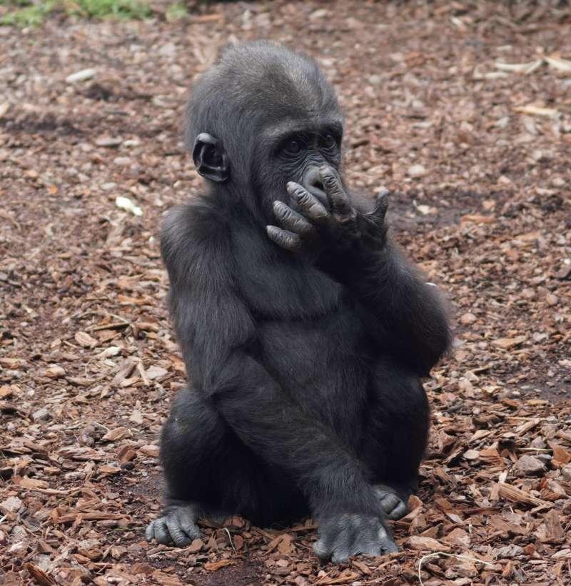 El pequeño gorila cumple un año. EPDA