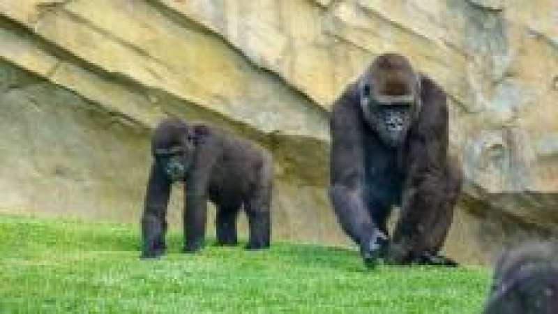 Virunga y Nalani gorilas - BIOPARC Valencia