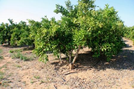 Campo de naranjos en la Pobla de Vallbona. Foto EPDA
