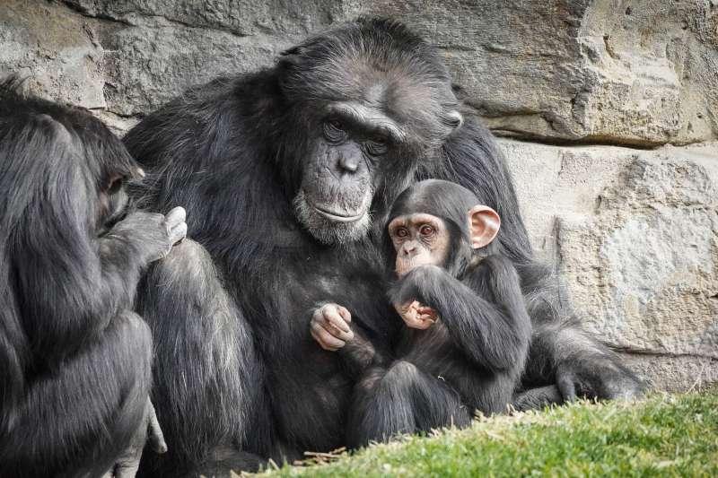 Los chimpancés Moreno y Coco. EPDA