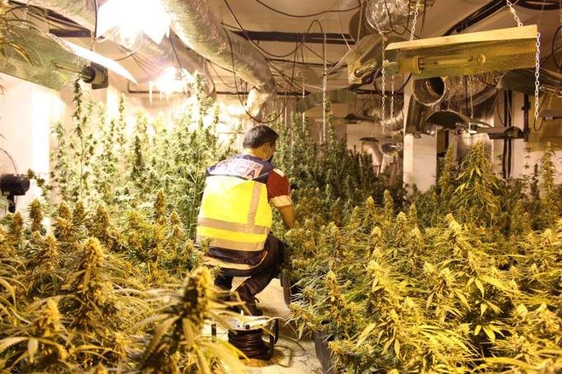 La Policía Nacional ha desmantelado un laboratorio de marihuana en una operación desarrollada entre los municipios valencianos de Paterna y Chiva que ha permitido detener a cinco sospechosos y aprehender 723 plantas de marihuana 705 en el citado laboratorio) con un peso total de 95 kilos. EFE/Policía