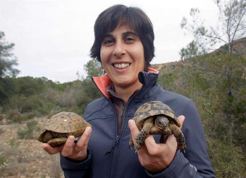 La ambientóloga de la UMH Eva Graciá, con una pareja de Tortuga Mora (Testudo Graeca) cuya hembra puede almacenar el esperma en óptimas condiciones de uno o varios machos durante 4 años. EFE/MORELL