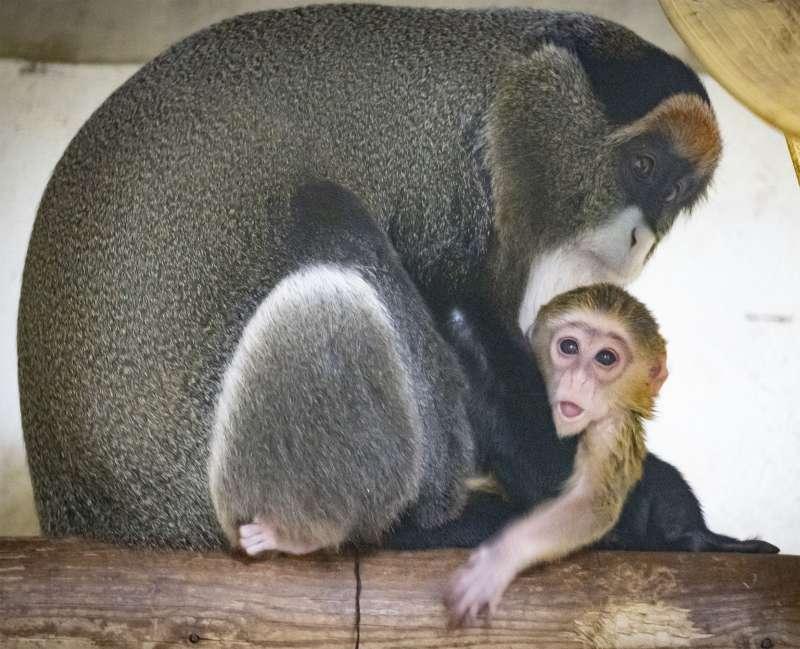 Un precioso ?bebé? del exótico primate cercopiteco de Brazza ha nacido durante la noche del 1 de enero. BIOPARC