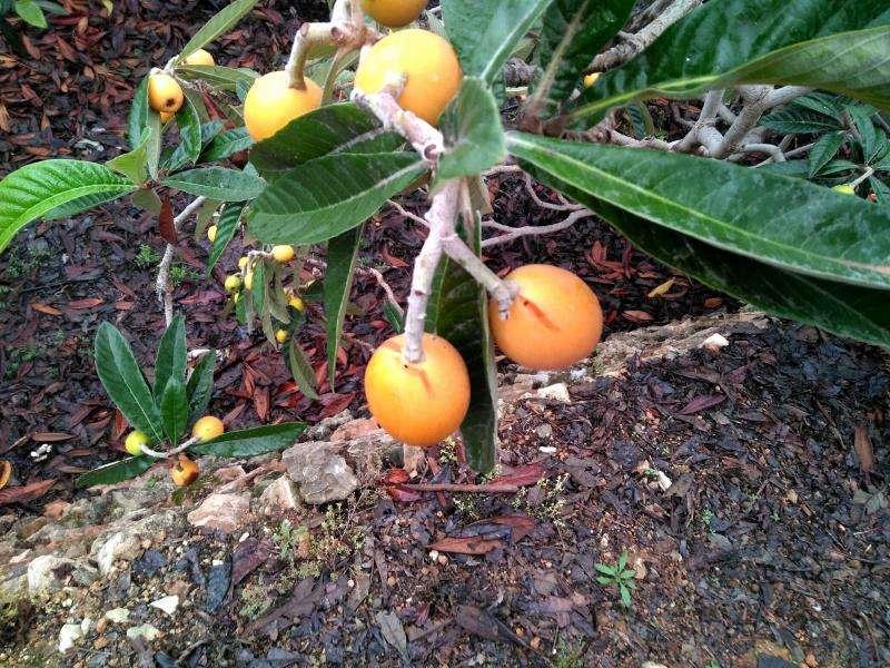 Fruta dañada aún en el árbol, en una imagen facilitada por La Unió.