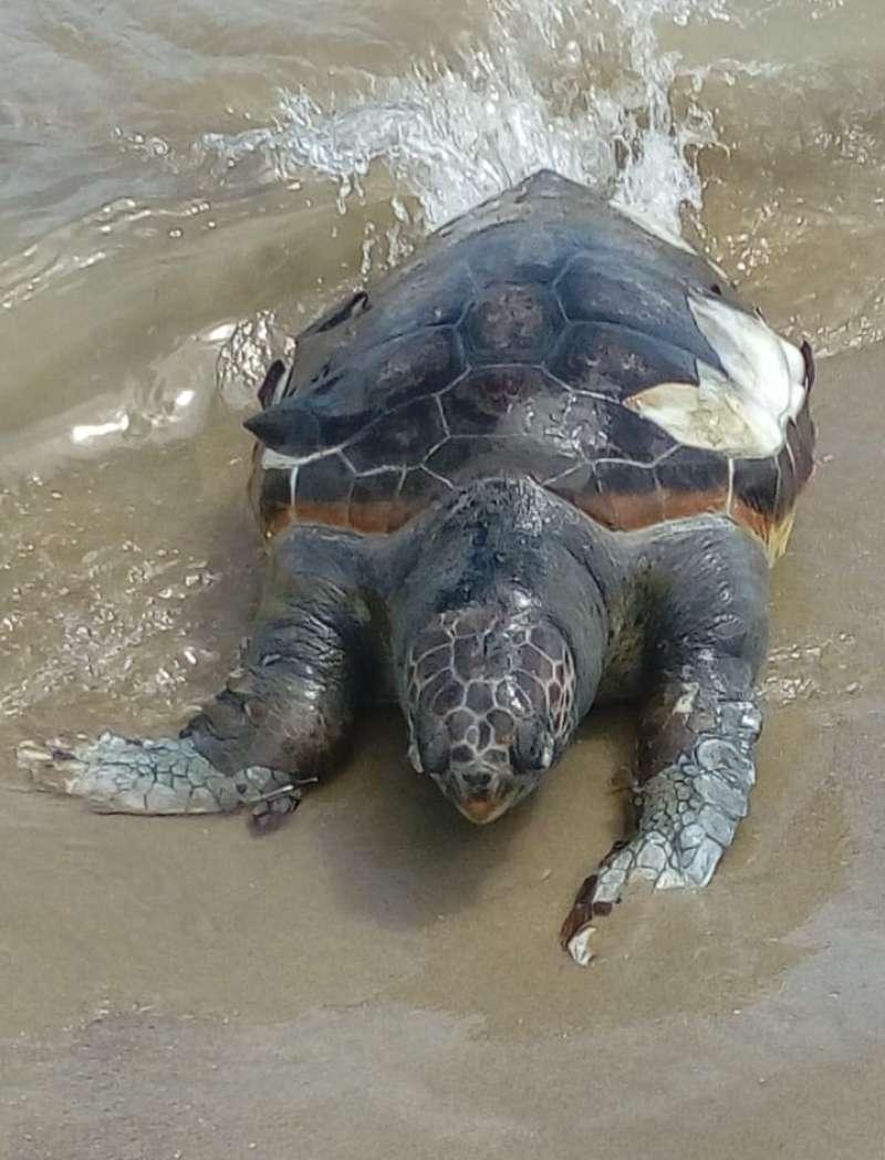 Una tortuga de grandes dimensiones que apareció el verano pasado en la playa del Port de Sagunt. / EPDA