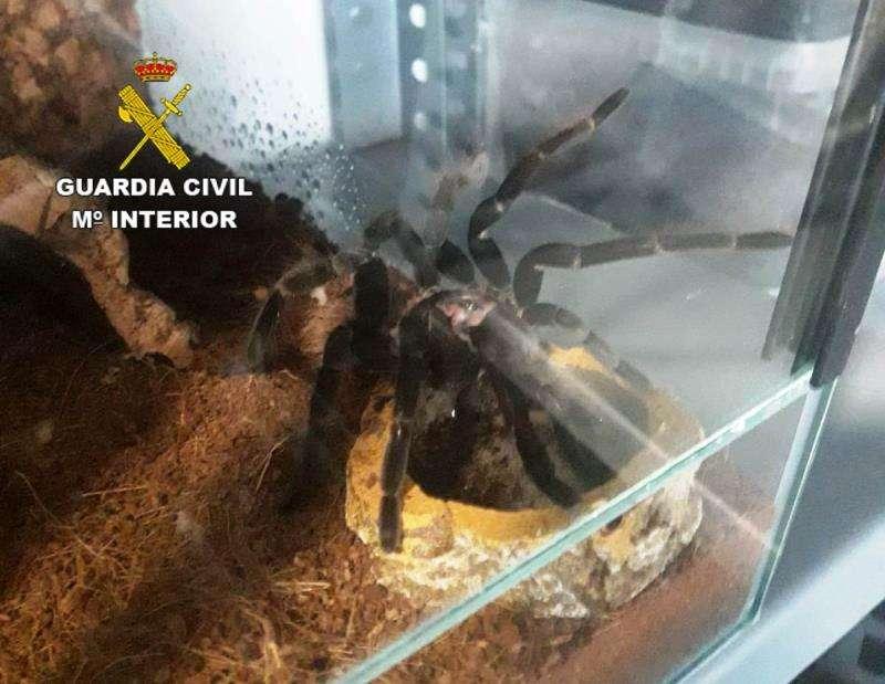 Imagen de una de las tarántulas del criadero, cedida por la Guardia Civil. EFE