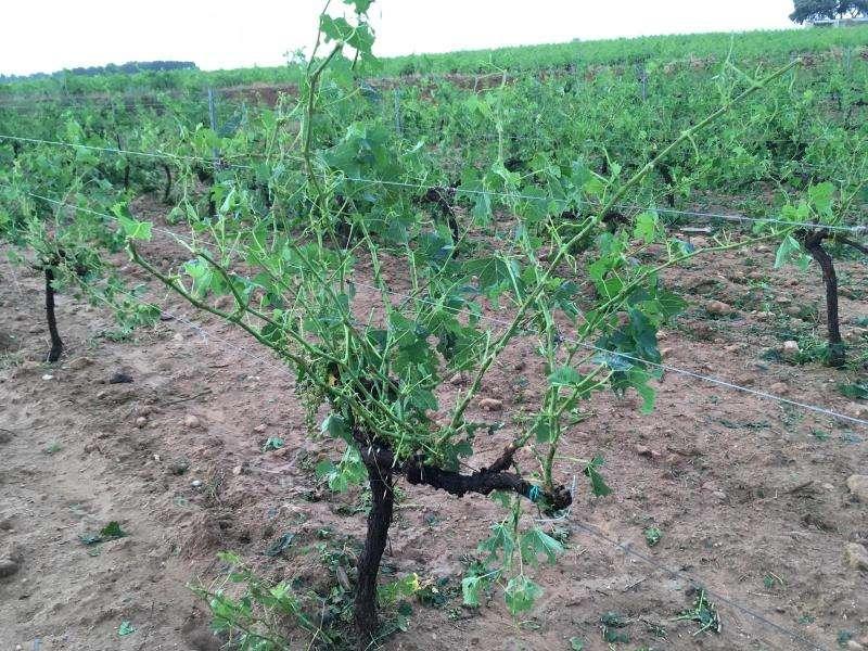 Daños causados por el granizo de este domingo en viñedos de Utiel-Requena. EFE/La Unió