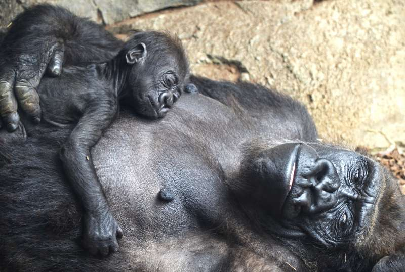 El bebé gorila Pepe cumple 2 meses. epda