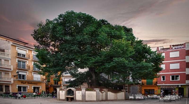 El olmo preside la plaza mayor de Navajas