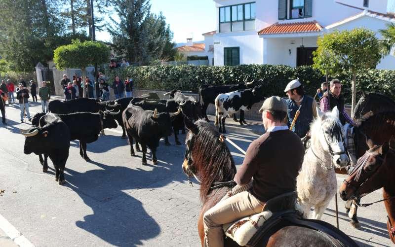 Toros, caballos y personas, recorriendo Viver