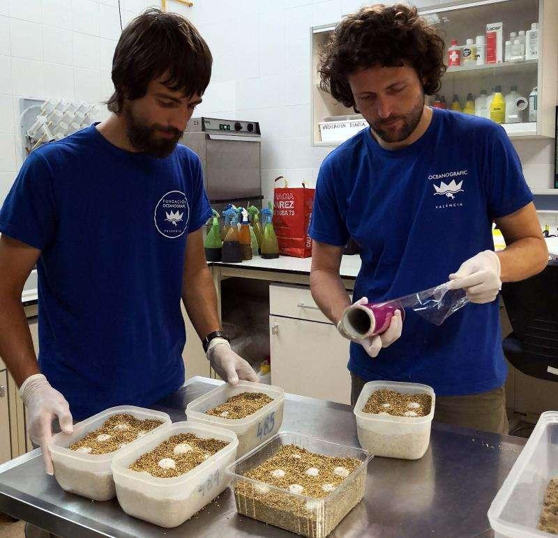 El 90% de los 113 huevos de tortuga recuperados en Castelló están fecundados