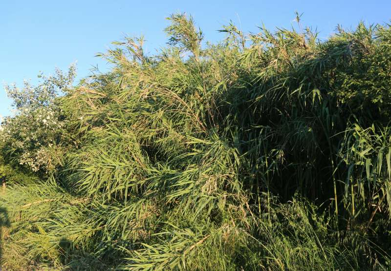 La vegetación invasora invade el cauce del Palancia.