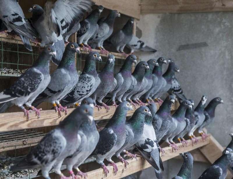 Ejemplares jóvenes de palomas en una estación de cría natural / EFE