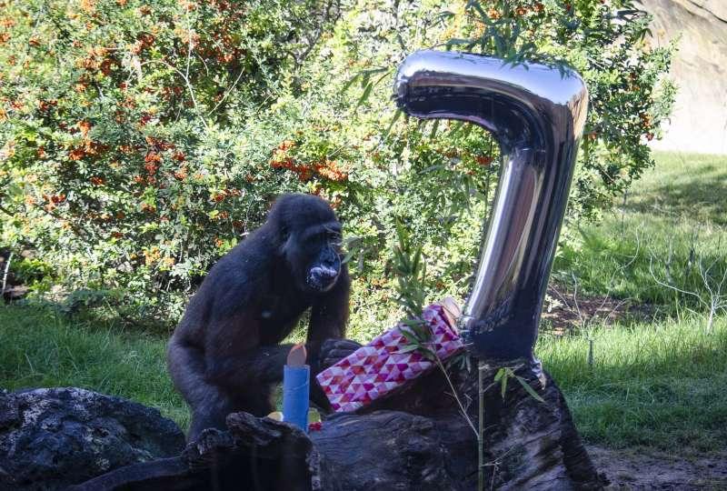 Ebo el primer gorila nacido en BIOPARC celebra su 7 cumpleaños. EPDA