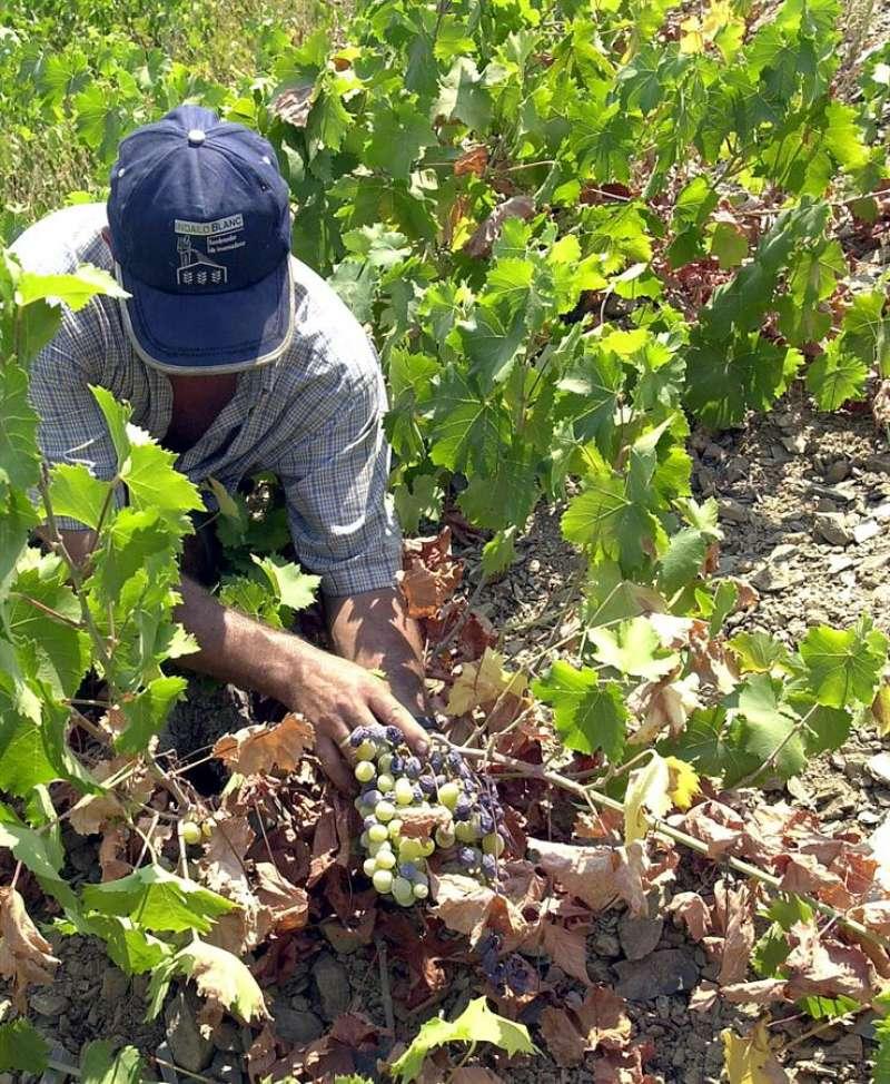 Plantación de uva. EFE/Rafael Díaz