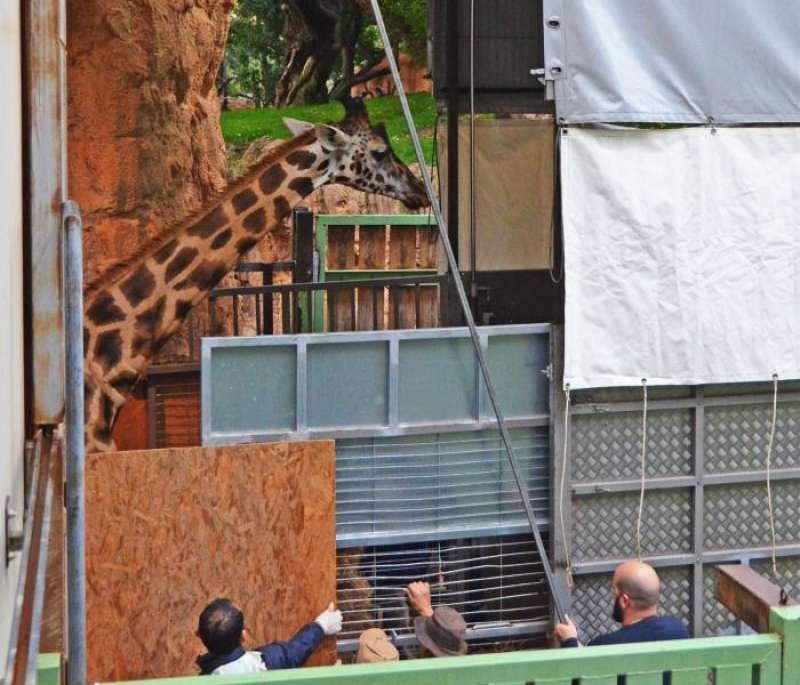 Imagen del traslado de una de las jirafas cedida por Bioparc. EFE