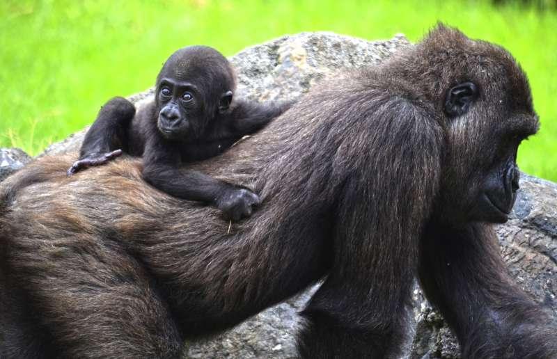 Gorila Pepe cumple 6 meses con Ebo. epda