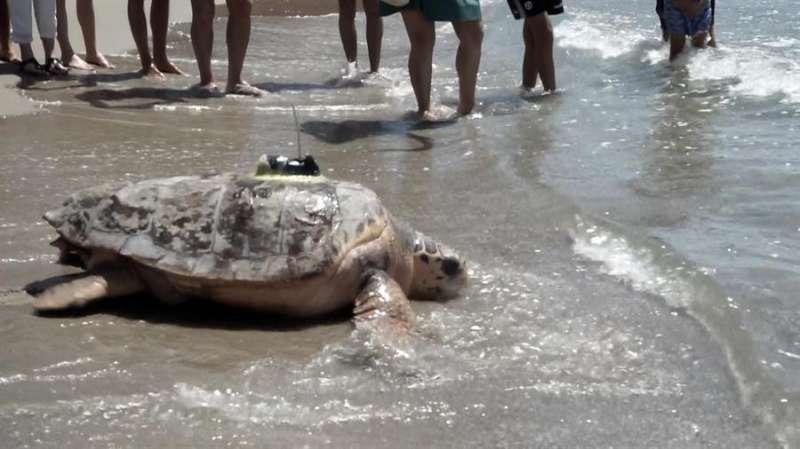 Una imagen de la tortuga liberada hoy, facilitada por la Fundación Azul Marino y Oceanogràfic. EFE