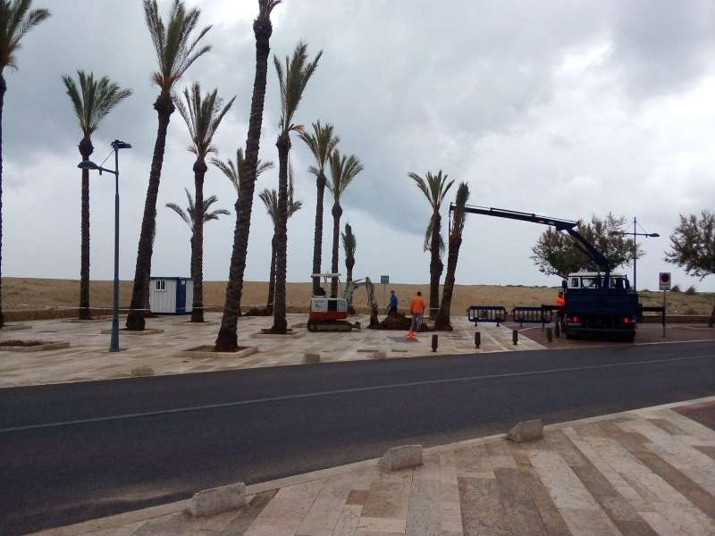 Reposició de palmeres al passeig