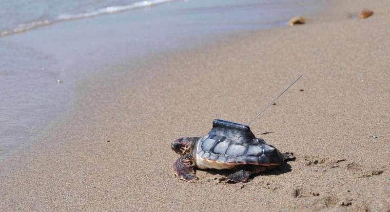 Un nou estudi aporta mesures per a ajudar a la conservació de les tortugues marines