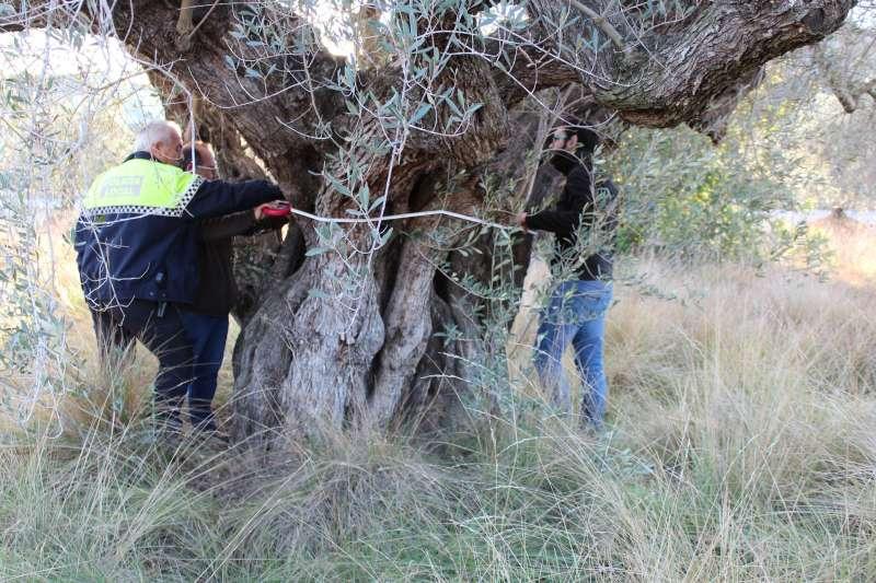 Riba-roja protege 4 árboles monumentales de 350 años