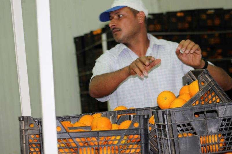 Un trabajador prepara cajas de naranjas egipcias para su exportación. EFE
