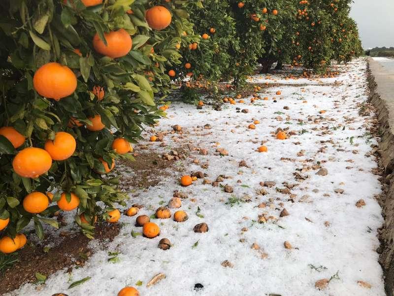Naranja afectada. FOTO AVA