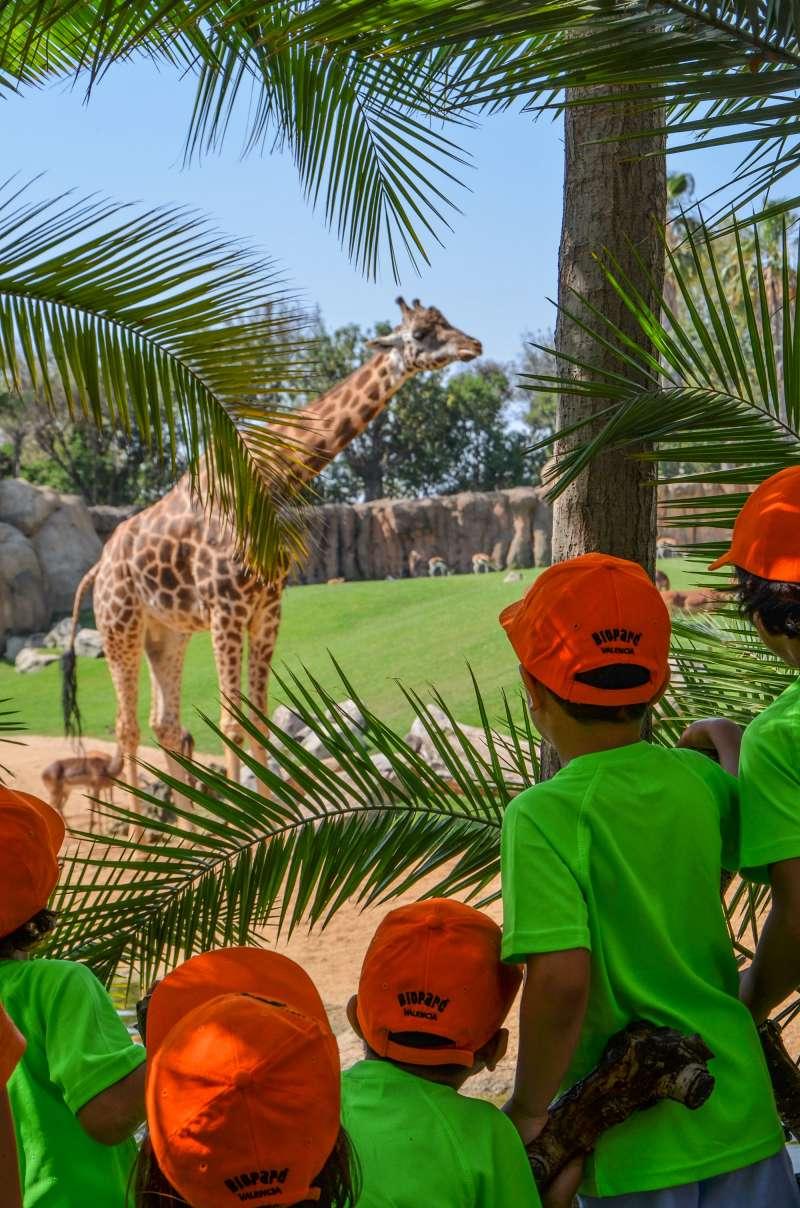 Exploradores en la sabana africana observando a las jirafas. BIOPARC