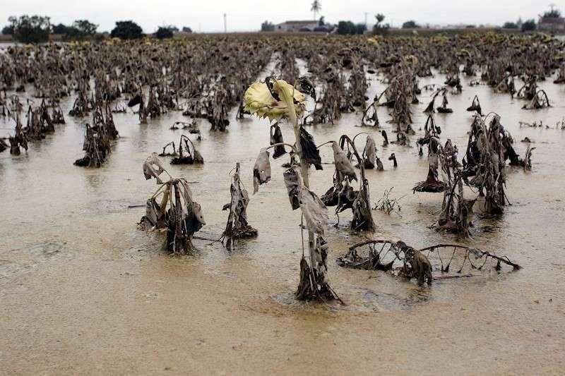 Vista general de un campo de girasoles entre Dolores y Catral afectado por las aguas del temporal de lluvia y del desbordamiento del Segura, en septiembre. EFE/Morell