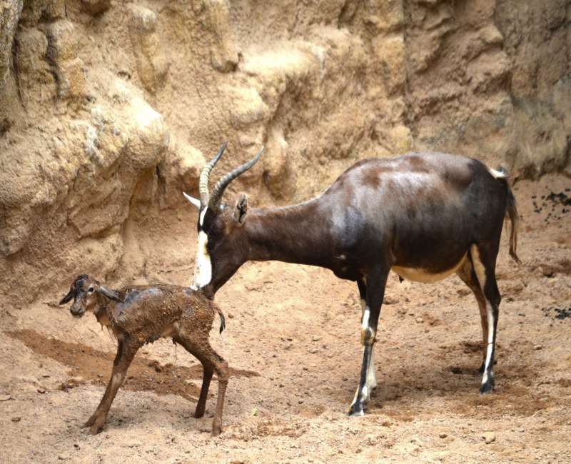 Nacimiento en directo de un blesboks en la Sabana del parque