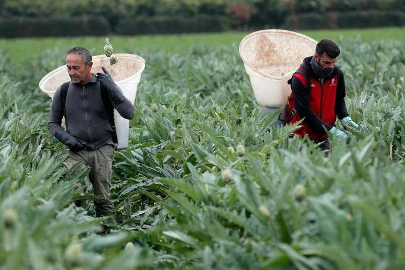 Trabajadores de la huerta valenciana recogen alcachofas durante el estado de alarma decretado por el Gobierno. EFE