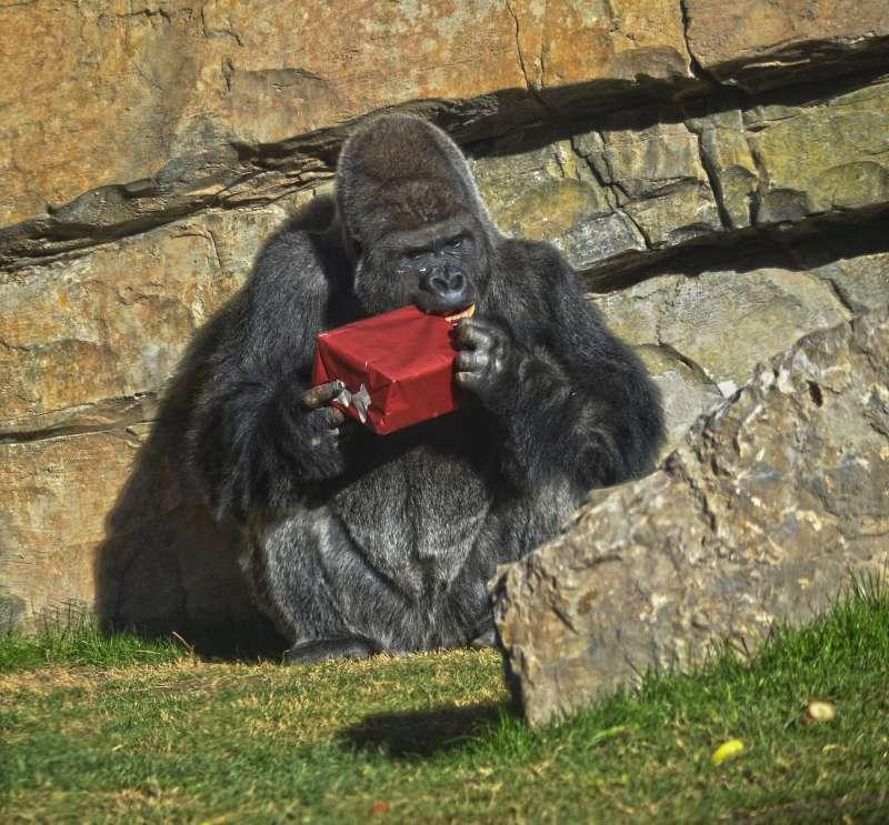 El gorila Mambie abriendo un regalo