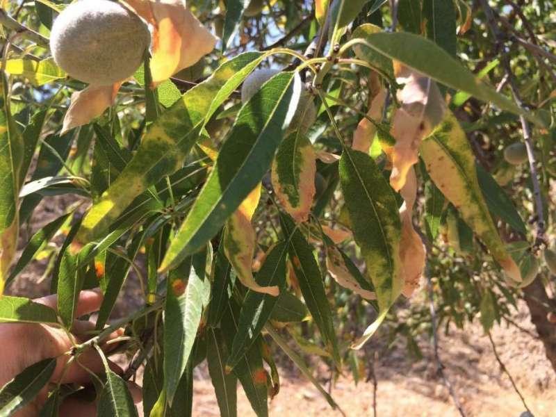 Naranjo afectado por la bacteria Xylella. EPDA