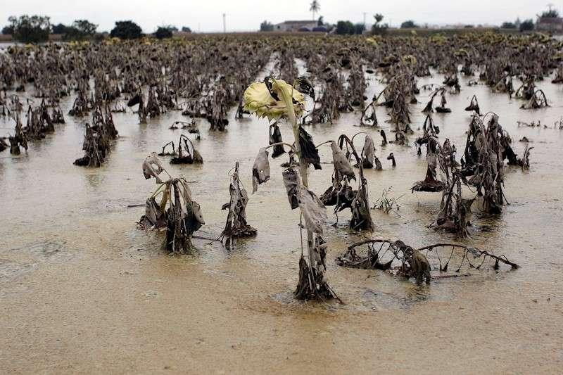 Vista general de un campo de girasoles entre Dolores y Catral afectado por las aguas del temporal de lluvia y del desbordamiento del Segura, en este mes de septiembre. EFE/Morell
