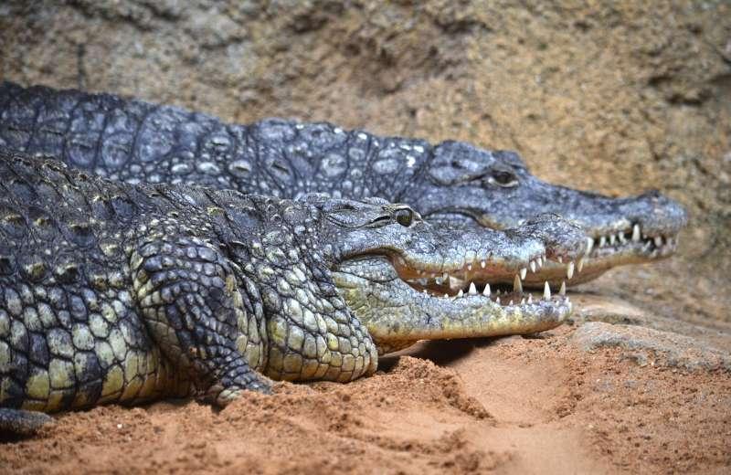 Imagen de los cocodrilos de Bioparc