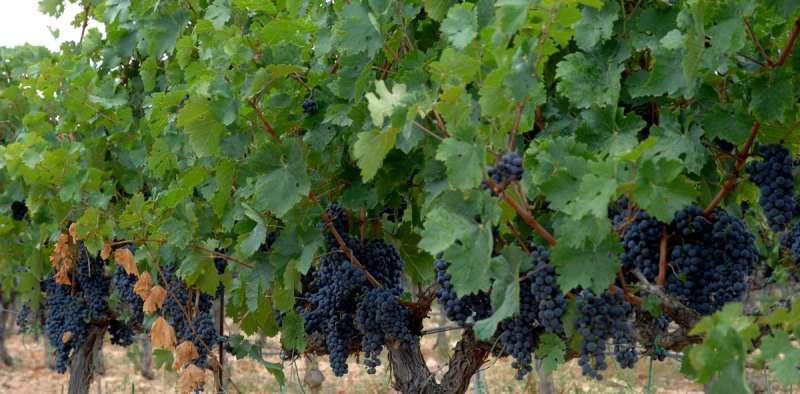 Imagen de unos viñedos de la Comunitat. EPDA