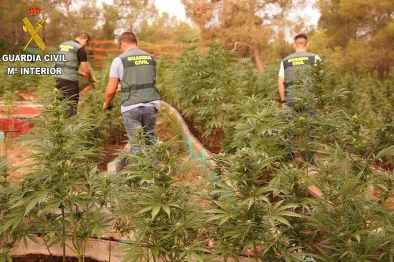 Imagen de las plantas intervenidas, facilitada por la Guardia Civil. EFE/GC