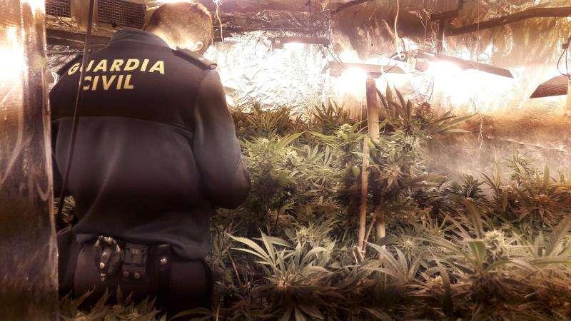 Una imagen de las plantas intervenidas, facilitada por la Guardia Civil. EFE