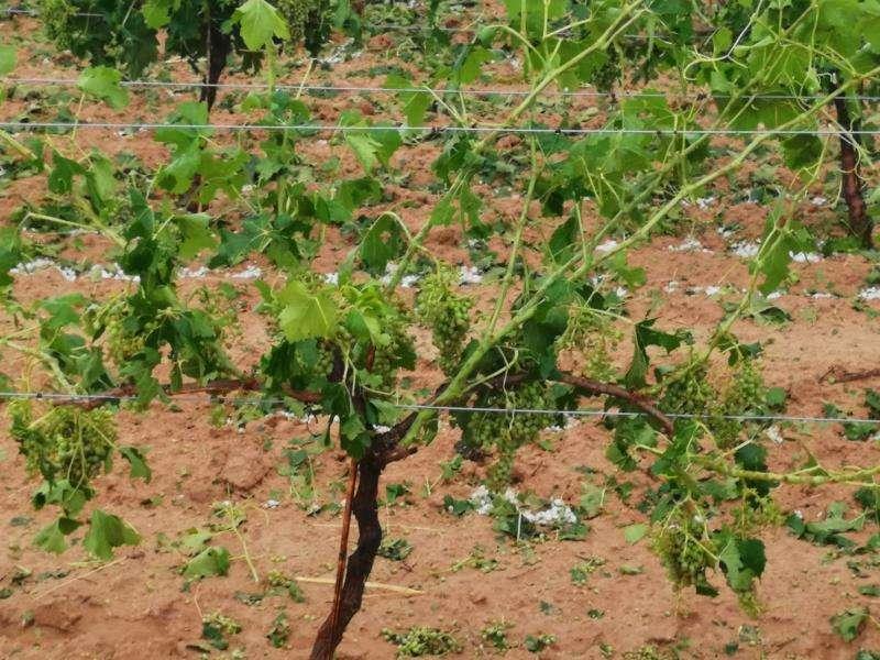 Imagen de los daños producidos por el pedrisco en la comarca de Utiel-Requena. EFE/AVA