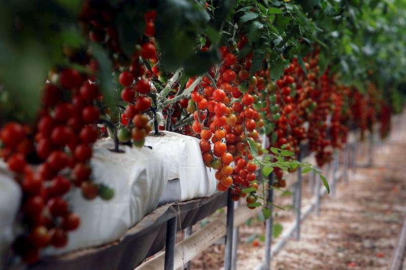 Detalle de los tomates cherry en uno de los invernaderos destinados a su cultivo por la empresa Bonnysa que más tarde serán exportados a Reino Unido, en Mutxamel, Valencia. EFE