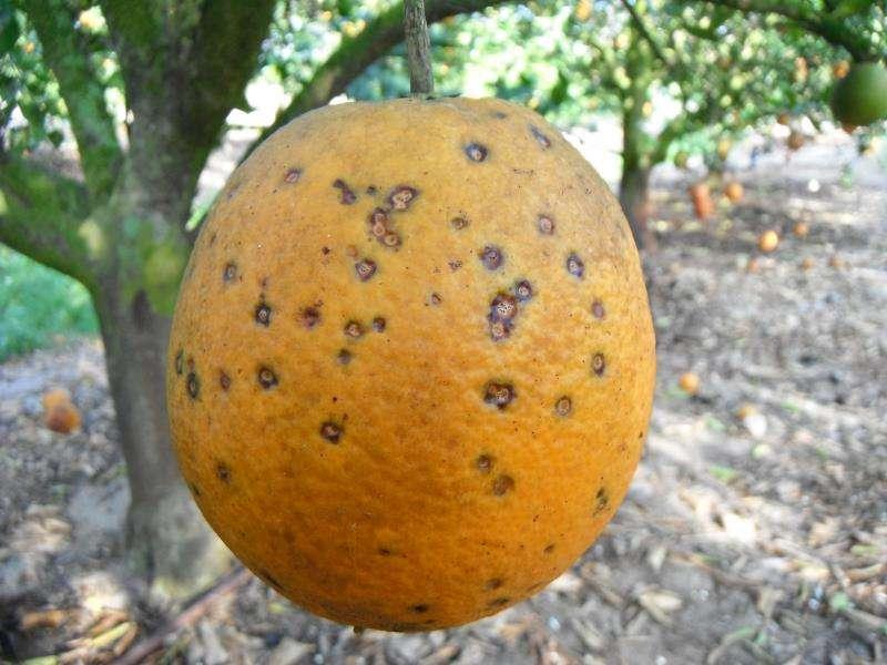 Imagen cedida por la Unió de una naranja afectada por el hongo. EFE