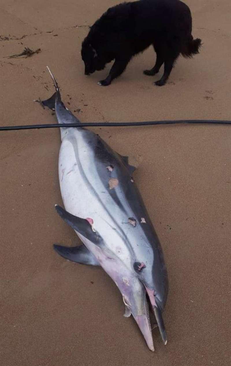 Imagen de un delfín varado por el temporal. EFE