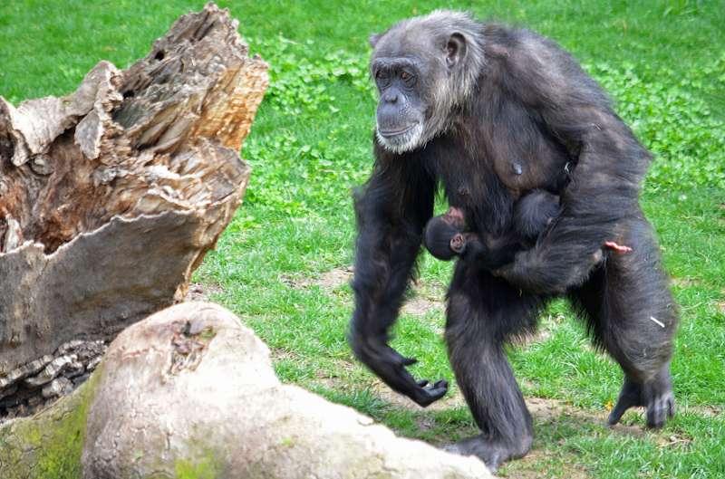 Chimpancés en Bioparc