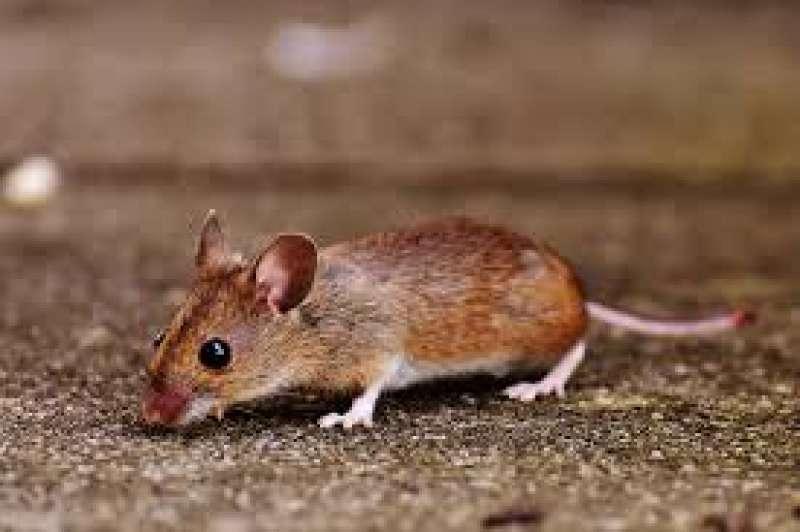 Imagen de archivo de un ratón. EPDA