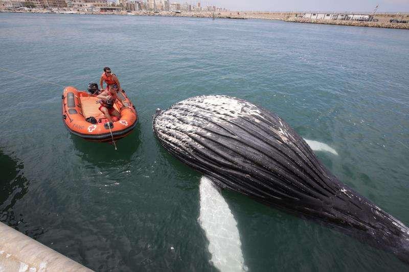 Imagen de la ballena que ha aparecido en la escollera del puerto de Gandia. EFE