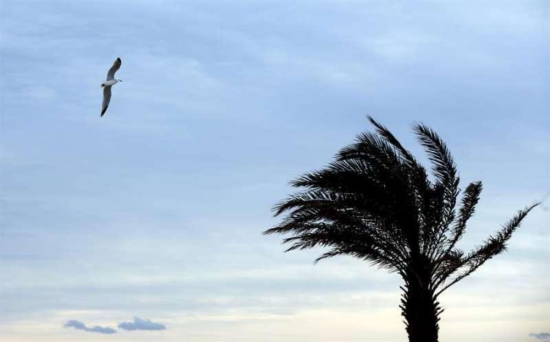 Una gaviota vuela junto a una palmera agitada por el viento. EFE
