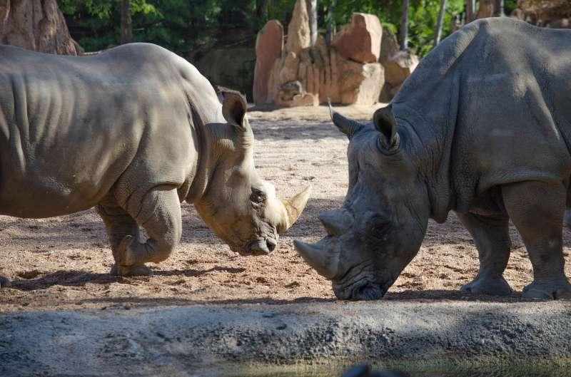 Rinocerontes en BIOPARC. EPDA