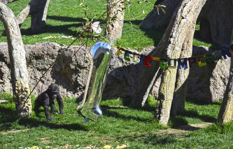 El bebé gorila Pepe celebra su primer cumpleaños en BIOPARC Valencia. EPDA