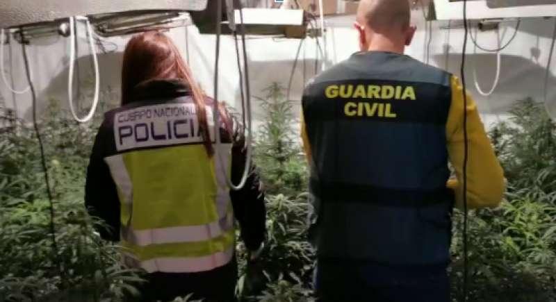 Plantación de marihuana decosisada. EPDA
